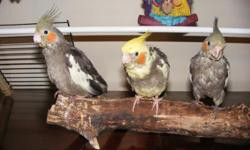 i have 3 hand fed baby cockatiel for sale.  they love to be held and talked to.  they know how to step up and are very gentle birds.  two are all grey with some white on the edge of their wings and one is grey and yellow.  asking