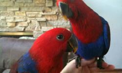 Handfed Solomon Island Eclectus Available! One female Solomon Island Eclectus available! 6 months old, very good talker and eater! She is fully weaned on to a fresh food and non-colored pellet diet. She is $1000 firm. Shipping is available at buyers