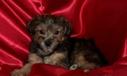 My name is Tigger. Some get me confused with a Tiger but I'm really friendly and loving. I have 2 sisters and a 3 brothers and I cuddle more with my big people parents than they do. My Dad is Yorki and Mom is a Poodle. Both helped me with my potty