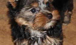 We have the best quality of puppies you can ever imagine ,we raised them in good manners, they are akc reg vet checked ,potty trained, they love to play with kids and other house pets hold, they will be coming with all their documents, they will be coming