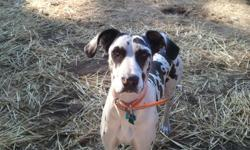13 month old harlequin Great Dane, female, unfixed. Great temperament, great with other dogs, we have teenagers and she loves them, don't know what she would be like around small children as she has not been around them, my feeling is I would be afraid of