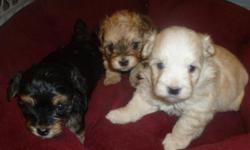 Hypho-alergenic, champion lines excellent family pets born Halloween ready Dec 19 $700 cash accepting deposits $150 --