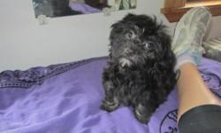 ADORABLE, friendly, and VERY sweet havanese pups, 8 weeks old, ACA registered, they come with all of their first shots and worming and a written health guarantee. I have two females available, both will be about 10-12lbs full grown and they are