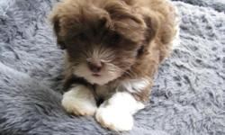 Havanese puppies for sale: AKC Havanese Show Breeder, get top quality at the best price. Havanese puppies are small, loving, non-shedding lap dogs that have a lifespan of 15-16 years. Please send us an email and we'll send you a link to updated