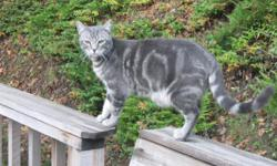 We have lost our 15 mo. old grey tabby cat. He is a neutered male, white belly, dark swirls on his sides and dark grey rings on his long tail. He went missing on Sat., August 25, 2012 in The Union Gap Loop Road area between Sutherlin and Oakland. He is