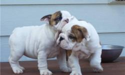 Healthy English Bulldog puppies waiting for their new homes. They shall be coming with lots of love once they are shown a lot of care , love and attention. If interested in both or any of them, do get back for more details and pictures about the puppies.