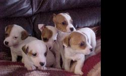 quality purebred Jack Russells raised on our hobby farm with love & attention from us and our grandkids. Healthy pups which are guaranteed against genetic defects with tails docked, vaccinated & on a deworming schedule. All coats and colors as available.