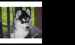 We are a state licensed kennel. We breed for quality, not quantity. Puppies are socialized from the time they are born. Puppies are only sold to loving homes! The breeder of four of the stars from the Walt Disney movie Eight Below! You can text me on --
