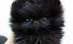 Healthy Teacup pomeranian puppies for Adoption!.Note: Email us directly ( lonna.tyrrell@yahoo.com ) for more information and Recent Pictures OR Text us your email @ () -