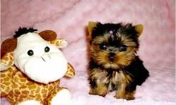 Healthy Yorkie Puppies Now Available. We currently have two yorkie puppies looking for new and forever homes. Please send me a text message anytime on . I shall be expecting your text message with your phone number and email on my mobile number so I can