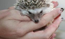 I have 4 adorable baby hedgehogs! They are very friendly and love to be held :) We play with them daily to ensure a great temperament! 3 girls and 1 boy. Algerian Chocolate Pinto Babies We charge $150 for your hedgehog which is also registered with the