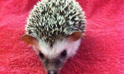 I have a new litter of hedgehog babies that just finished weaning from mom and are ready for good homes. These little hoglets are sweet and friendly, and vary in color. USDA Licensed. Please visit my site homebredpets.com for pix & more info or call