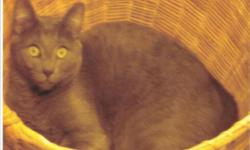 """THOM a Friendly and very loving 1.5 year old RUSSIAN BLUE MALE cat. He and also his mother """"ASIA"""", also listed here, have a secure loving home together but their owner is starting a new job requiring that she be absent from Hemet three weeks at a time. I"""