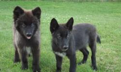 Here are 2 black phase high content male wolf dog puppies. They were born April 11, 2011. They are up to date with their shots and have been de-wormed. Super friendly. Raised around small children and other animals. They are going to be huge. Their paws
