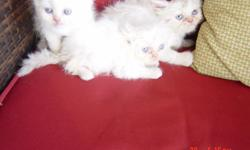 Himalayan-Persian Kittens 8 weeks old, Male and Female, All White with Flame Points, CFA Registration, shots and dewormed Asking $200.00