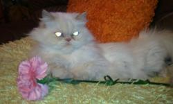 Cream tip Himalayan , full blooded. 2 years old needs to find a new home. She is a great cat, paid alot for her. Dont have the time for all our animals with 3 kids. I will take $225.00 for this loveable cat. She loves kids and beef jerky. Has all her