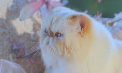 We are a small professional Himalayan Cattery, offering a retired and beautiful flame point male, birth 06/20/2005. He is soft and sweet , absolutely clean. He is a nice big boy, excellent companionship, but we really need to keep a small Cattery to give