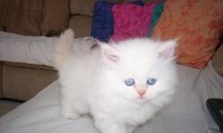 ADORABLE LITTLE FURR BALL OF LOVE , READY FOR XMASS EVE DAY I HAVE A MALE FLAMEPOINT THATS WHITE , WILL HOLD WITH A SMALL DEPOSIT CALL 706 -237 5129 -706 973 -7237 IN DAHLONEGA GA