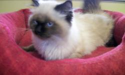 Beautiful SealPoint Himalayan Kittens for sale. Born 8/2010. 2 Female. Shots & litter trained.