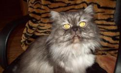 HIMALAYAN MALE SEAL POINT CAT   , HE  IS VERY LAID BACK AND EASY GOING, HE DOES HAVE CFA PAPERS WITH BREEDING RIGHTS.