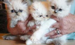 HIMALAYAN PERSIAN KITTENS - BIG BLUE EYES!! 8 WEEK OLD MALE FLAME POINTS, TORTIE AND BLUE POINT HIMALAYANS, AND 1 FLAME POINT 16 WEEKS, WONDERFUL! CFA BIG BLUE EYES, PLAYFUL AND CUTE! FAMILY RAISED. LOVING COMPANIONS. COME SEE THEM AND YOU WILL FALL IN