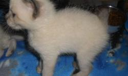 Himalayan/Siamese Manx Kittens - These beautiful little fluff-balls are very sweet and playful. They are litter trained and health guaranteed. I have rumpies, stumpies and one with a tail. Im asking 175.00 - 250.00 if you would like to come see them call
