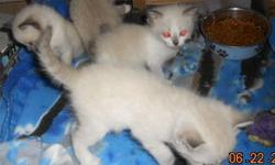 Himalayan/Siamese Mix Kitten - This beautiful little boy is very sweet and playful. He is litter trained and health guaranteed. I have one male. Im asking 175.00 if you would like to come see him call sherri at 713-240-1976