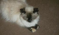We are downsizing a little and so a lovely little tortie Himalayan female is now available. She was born 11/06/08, is very sweet, and is an excellent mother. She is available for $200.00 as a pet; breeding rights are available. Contact us for more