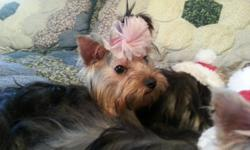 HO HO HO stocking stuffers yorkie puppies 4/12 mo old a.k.c females and males small size silver and blonde gorgioues all shots and wormed $550.00 and up cash only call --.....