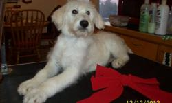 Allergy-Friendly,  Little to no shedding , easy to train,  calm,  very loyal,   These Puppies are all raised from my home, with children and other pets too. They have been Vet check and have had 3 sets of shots and
