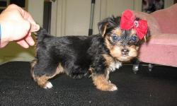 My little babies are so cute and lovely. They are ready to be given out for adoption to a good and lovely home which will show them all the love and care they needs. My Yorkie Puppies are Akc Registered and are all well home raised , love the company of