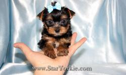 Yorkshire terriers, Maltese, Pomeranian, Shih-Tzu, Havanese, Cavalier, Morkie, Yorkipoo, Maltipoo, Malshi, Pomtese and more? Congratulations ? you have found the best place in the country to get your new teacup puppy. With over 9 years of