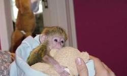 Home trained white baby face capuchin monkeys for adoption.They are lovely boy and girl monkeys who loves playing with kids and other home animals like dog and cat etc .These monkeys will be just the best they will be coming with some of their playing