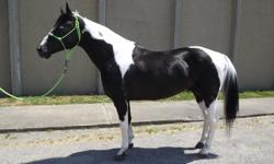 """ LUCKY"" is a homozygous for the tobiano gene (can not produce a solid foal) he is 15.2 hands, great mind, easy breeder, very quite with the mares, he has black & white, chestnut & white foals. I GUARANTEED you a little luck, color, and a live foal."