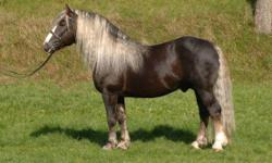 Looking for a great pony or small horse for a 50+ rider in Vermont.  Must be sound proof for trail and indoor riding. Must have all three gaits learned.  Shetland/draft horse, 14 hands.  Or any horse that meets this specifications.
