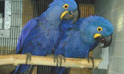 Good Family Train Hyacinth macaw Parrot ( They can Talk )-$350 For One they are well best train they have all document and love to go to a new home. they talk and playing in and out home. email us as soon as possible for more information .