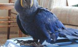 We have a pair of Hyacinth macaw and a pair of African grey parrots ready to go now. Raised in our home and very well socialized, and loved and cherished from day one! They'll get well along with people and other pets . They'll cherish your attention.