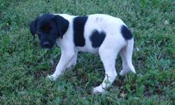 Great Lab/ Shorthair Retriever Puppies now available!