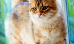 Koshka Siberian Cats is the first cattery of Siberian cats in South Carolina and is specializing in the very rare and desirable golden color in Siberians. All of our cats have been imported directly from Russia and the Ukraine and come from some of the