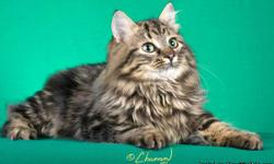Croshka Siberians Cats and Kittens has been breeding quality cats since 1994. Siberians are hypo-allergenic to most people and have a lower amount of Fel-d-1 in their saliva which causes allergins. We are located in Metro Atlanta and we have our Georgia