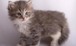 Quality Siberians bred for Health Personality and Standard. Happy healthy kittens raised with love in immaculate non-smoking cat-friendly home. Championship cats imported from Russia. Friendly loving beautiful kittens. Color-points with and without white.