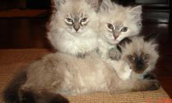 We have hypoallergenic Russian Siberian kittens ready to go. They are well socialized with people and dogs. Variety of colors. TICA and CFA registrations. We raise our cats as true family members. We love them very much and we spend all our spare time
