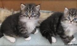 Hypoallergenic siberian kittens ready for new homes. Home raised underfoot with dogs and socialized with our kids and grand kids from day one. Fantastic personalities, lots of fun and will make great companions. Our goal is to produce well socialized