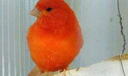 i am looking for Red Factor Canary (Female) if you have call me at: 405-922-2247 or send email. Read more: http://oklahomacity.ebayclassifieds.com/birds/oklahoma-city/i-am-looking-for-red-factor-canary-pair/?ad=12588666#ixzz1S1WM6pCG Read more: