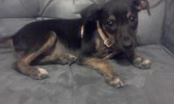 Looking for a full blooded male Miniature Pinscher between age 1 month to 2 years, not fixed! Perferably free - $25 ..I have a 3 1/2 month old female miniature pinscher & I wants a male so I.can breed them when she is old enough! Or If anyone has a male