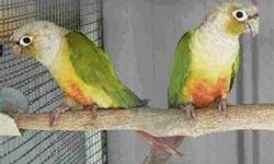 I'd like to buy a young pair of cinnamon or dusky green cheek conures, and get them to me in beaver falls pa. Cash when they arrive. I included pics of what I'd like them to look like, the first pair are gorgeous, I think. I pretty much like them all.