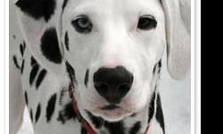 hi my name is haley ventura and i am looking for a dalmatian stud i have a female dalmatian and she is almost a year old and we are wanting here to have babies and when she was born her mom had 16 puppies so she will have alot of babbies email me if ur