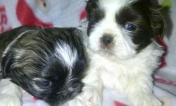 Beautiful imperial shih-tzu puppies born Nov. 2 will be ready for x-mas. ckc registered will have 1st shots an wormed. 2 males 1 very small tri-color an 1 brown an white please call or text --