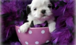 I have a Imperial Shih Tzu Puppy female all white with come black on her ears she will be no bigger then 7 lbs with short legs and short back AKC. She will be ready to go to her forever home on the first week of july 2 she was born 5-7-11 if your are