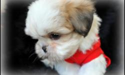 LiL Imperial Male shih tzu puppy 9 weeks old will be no bigger then 6 to 7 lbs with short legs and short back he has such a cuddly personality, and loves attention he is potty trainied. he is ready for his forever home, he has been checked by my vet and